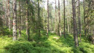Här syns de stämplade träden - de som ska gallras bort.