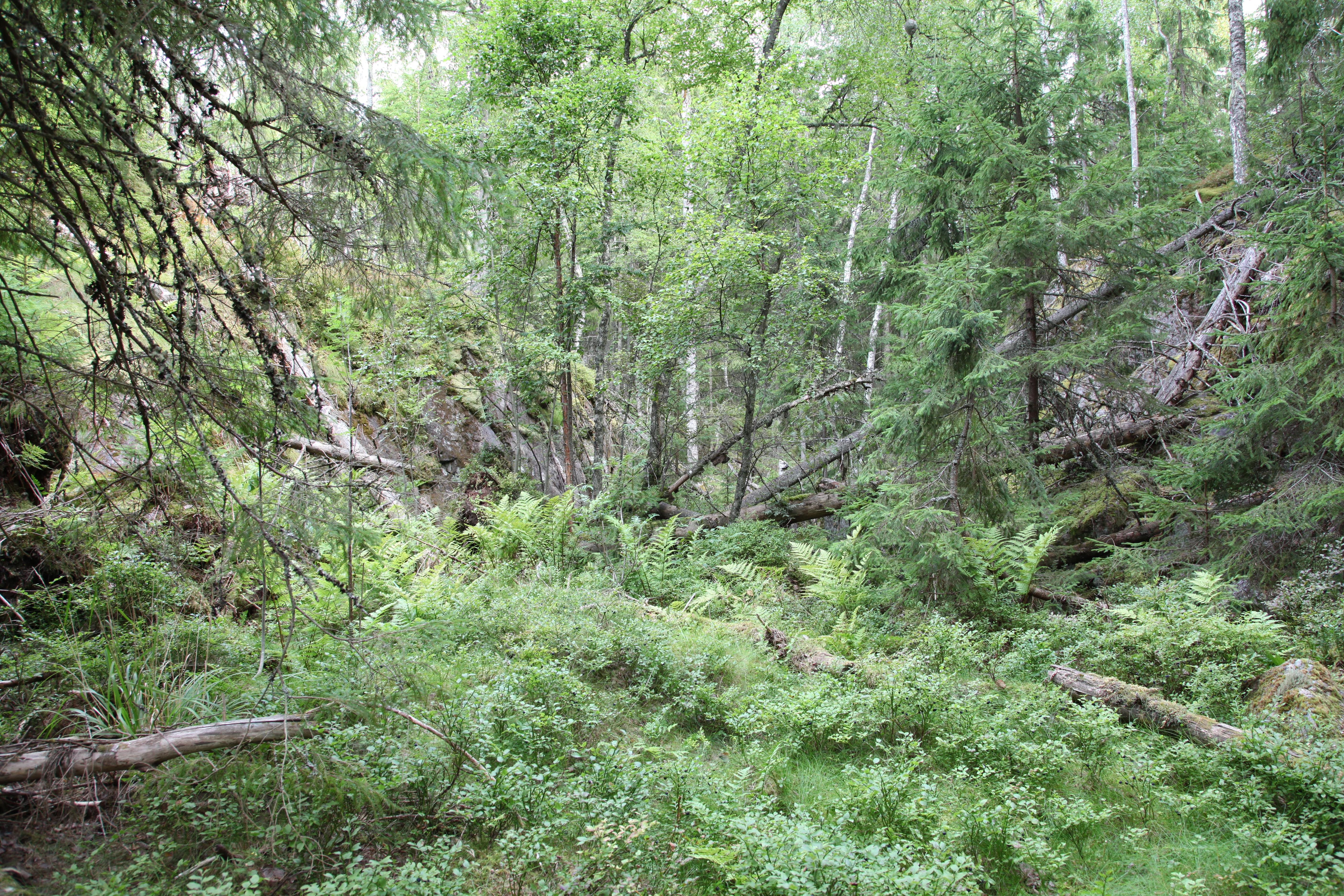 Ravinen. Notera det enorma getingboet som sitter högt upp i björken lite till höger i bild.